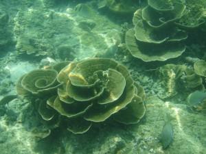 Korali u plitkoj vodi ostrva PiPi