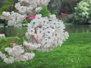 Japanska tresnja u cvetu