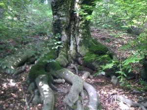 Bukva, veliki koren, leto