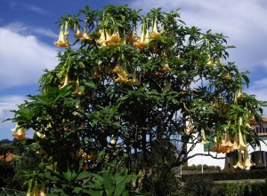 Drvo sa velikim cvetovima